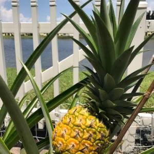 プランター栽培~パイナップルが色づいてきたよ♪