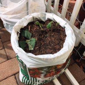 紫サツマイモ~袋に植え付ける