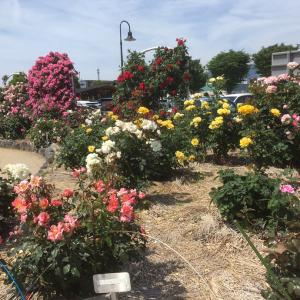 バラのある公園