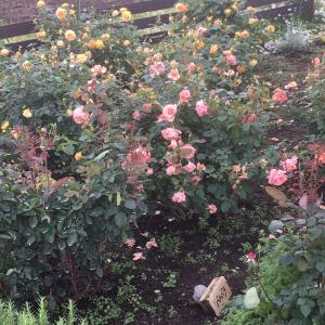 また行ったのであります薔薇の花を見に