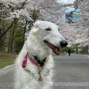 中島公園へ♪ 桜満開です♪