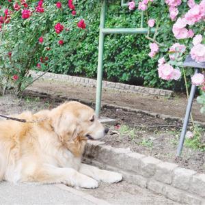 犬と薔薇の花