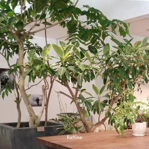 おしゃれ観葉植物のインテリア/高級マンションインテリアコーディネート内装例