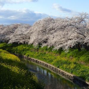 ポタリング、五条川の桜・・・