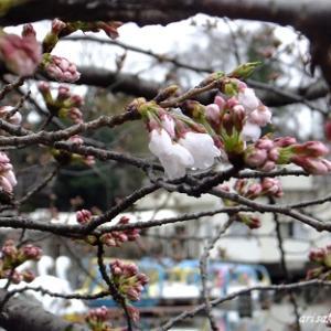 桜の開花と戻って来たスワンボート~井の頭恩賜公園~