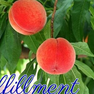 *たわわに実った桃の木:充足感(Fulfillment)*セイクレッドデスティニーオラクルより、今日のエンジェルメッセージ(Jul.30)