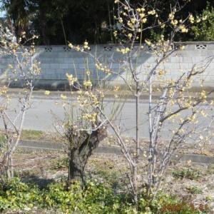 蝋梅の播種