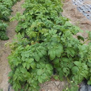マルチ栽培のジャガイモの結果
