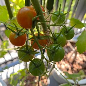 都会のベランダで家庭菜園。プチトマト1年目の失敗は「雨」が原因。2年目は…?
