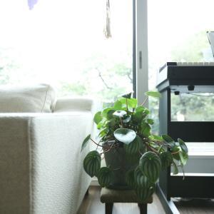 窓際に置いた観葉植物「ペペロミア」が徒長する理由は……