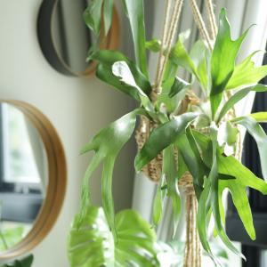 水苔玉で育てるビカクシダは、東京の真夏を乗り超えられるか?