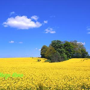 菜の花畑と白い雲