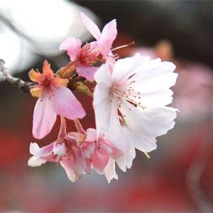 料理店の庭の紅葉 十月桜