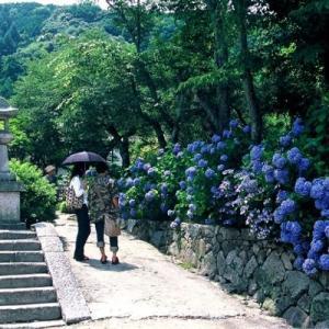 矢田寺のアジサイ 蔵出し画像