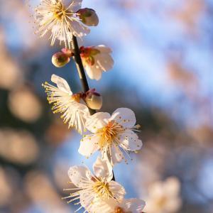 京都御苑の梅 1 (2020年)