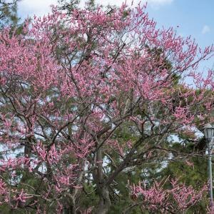 京都御苑の梅とウメジロー