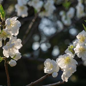 京都御苑の花桃など