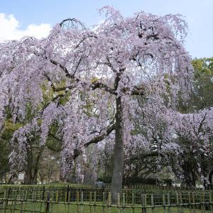満開の糸桜(京都御苑)