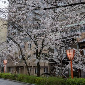 木屋町・鴨川・天神川の桜