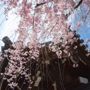 御室桜の仁和寺へ