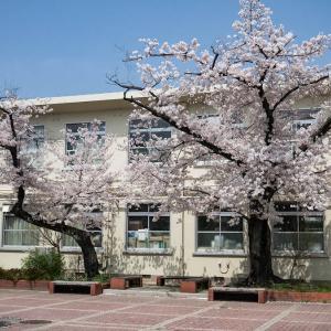 桜の六孫王神社から東寺へ