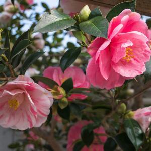 平野神社の魁桜・他