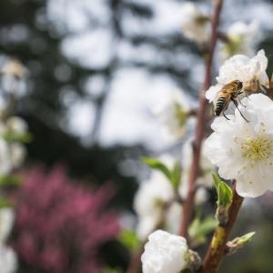 京都御苑の桜 2019年