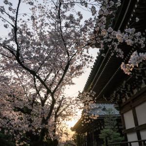 夕刻の桜-本法寺と妙顕寺