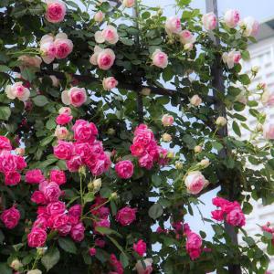 大阪中之島公園の薔薇