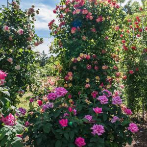 京都府立植物園 5月の薔薇