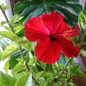 赤いハイビスカスの花が咲いたよ