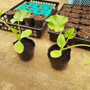 ズッキーニの鉢植え