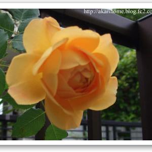季節のお花を飾る生活…4月のバラ