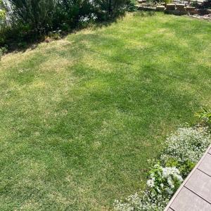 今日の芝生