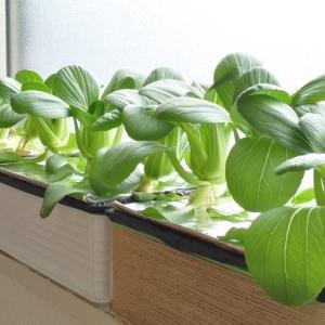 水耕栽培 はやどりチンゲン菜 ―冬の収穫開始―