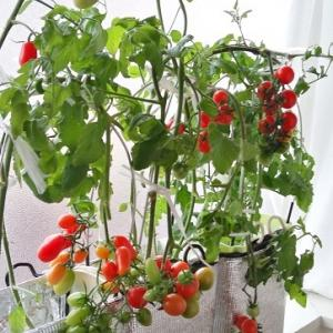 水耕栽培 ミニトマト ―ようやく収穫開始―