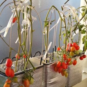 水耕栽培 ミニトマト ―挿し芽から発根―