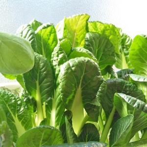 水耕栽培 ビタミン菜 ―収穫撤収―