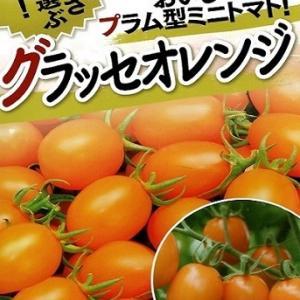 水耕栽培 ミニトマト ―F1品種のタネ、初購入―