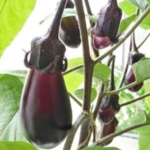水耕栽培 豊黒ナス ―収穫始まる―