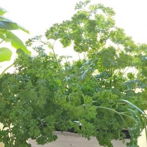 モスカールドパセリ ―収穫開始から千切って食べるだけの日々―
