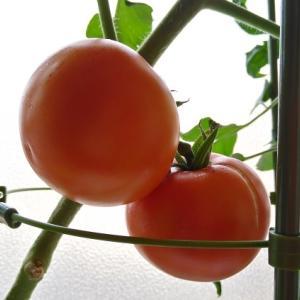 水耕栽培 ぜいたくトマトF2 ―大玉トマト栽培で得た、これまでに無い幸福感―