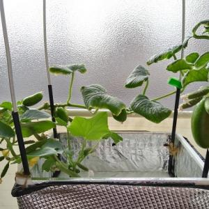 水耕栽培 ミニキュウリ ―秋キュウリ収穫続く―