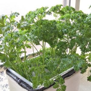 水耕栽培 モスカールドパセリ ―肉肉しい根っこ―
