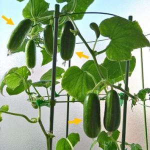 水耕栽培 ミニキュウリ ―昼間の窓辺は何℃?―