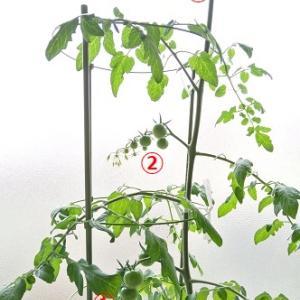 水耕栽培 ミニキャロル ―多収の特長が第3花房に出現―