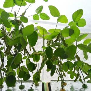 水耕栽培 枝豆 ―初収穫―