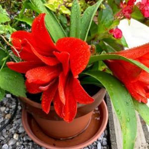 紺地、傘と朝顔の柄 注染本染めゆかた反物 季節の花々