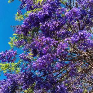 紫色のハワイ桜