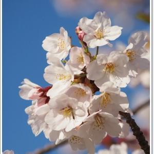 圧倒的な桜!@引地川親水公園